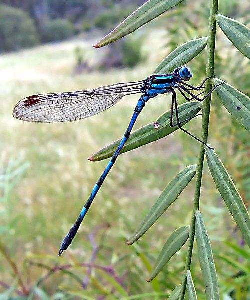 Common blue damselfly02