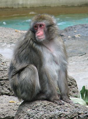 Japanese Macaque1