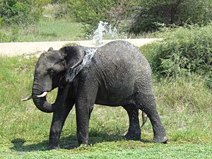 African Elephant shower