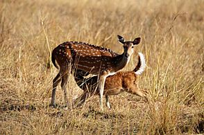 Chital Mother