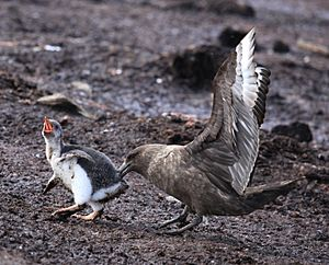 Brown Skua snatches Gentoo Penguin Chick (5751218963)