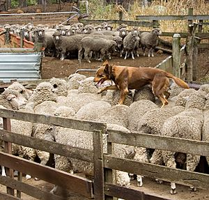 Kelpie walking across the backs of sheep