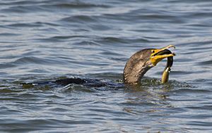 Great Cormorant 0010 - swallowing eel - East Potomac Park - 2013-08-25