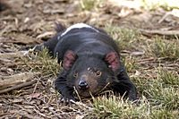 A devil lying belly down on dry scrub grass and dead leaves. It has stretched its front legs out in front of its face.