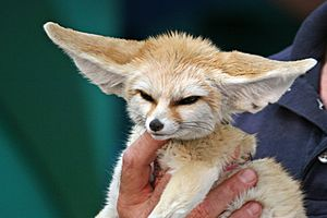 10 Month Old Fennec Fox
