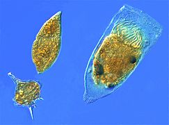 Dinoflagellates and a tintinnid ciliate