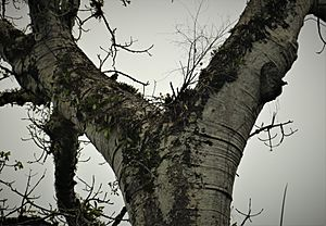 Previous years nesting site of Harpy Eagle (42662761265)