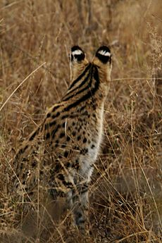Serval from back
