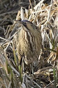 Bittern in River Lee Country Park