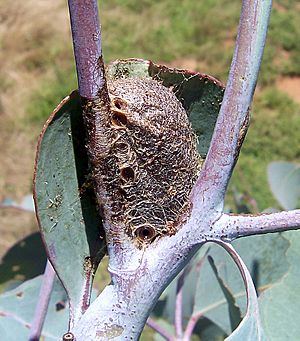 Caterpillars cocoon