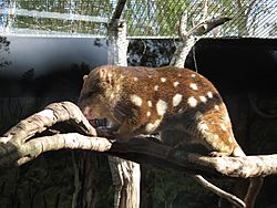 Dasyurus maculatus -Billabong Koala and Wildlife Park, New South Wales, Australia-8a.jpg