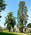 Sequoiadendron giganteum at Buckfast Abbey - geograph.org.uk - 1159747