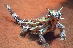 A232, Alice Springs Desert Park, Alice Springs, Australia, thorny devil, 2007
