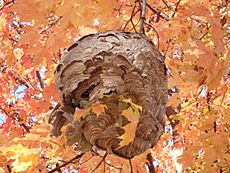 DSC03204 - wasp colony - paper pulp nest on maple tree near Maple Lake boating center - IL Rt-171 and 95th St 2008Oct21