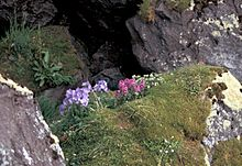 Hall Island Jacobs Ladder and Lousewort in auklet colony