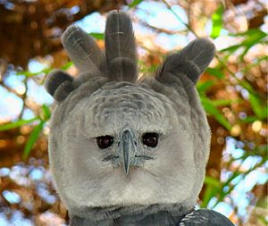 Portrait-of-a-Harpy-Eagle