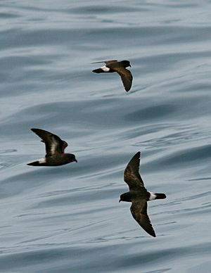European Storm Petrel From The Crossley ID Guide Eastern Birds