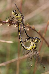 Yellow striped hunter mating