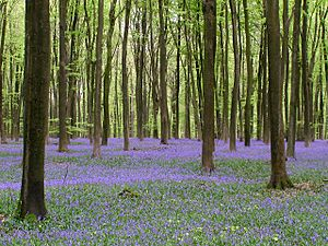 Bluebells in Micheldever Wood - geograph.org.uk - 165487.jpg