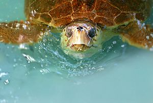 Hilda, a Loggerhead sea turtle, was rehabilitated and released back into the ocean since this photo at the Marine Science Center in Ponce Inlet, Florida - Flickr - Andrea Westmoreland