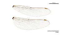 Austroaeschna parvistigma female wings (34921705161)