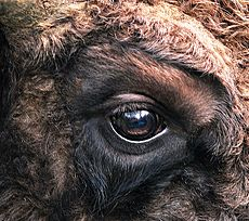 Bison bonasus right eye close-up
