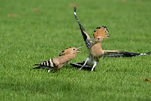 Young and mature hoopoe