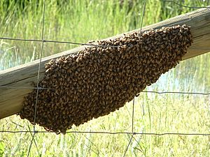 A swarm of Apis mellifera - 20051109