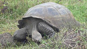 A gigantic galapagos tortuga on the island of santa cruz