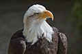 Bald eagle at the Hawk Conservancy Trust 2-2