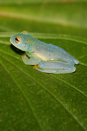 Glass frog CR