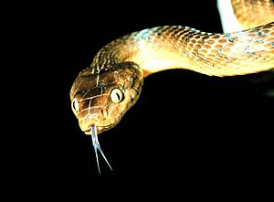Brown tree snake Boiga irregularis 2 USGS Photograph