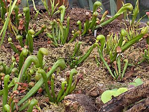 Darlingtonia californica02