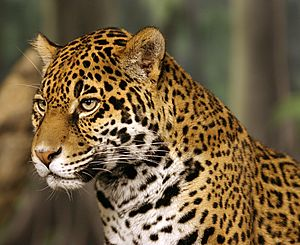 Jaguar head shot-edit2