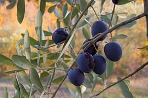 Olive fruit on the branch (2007)