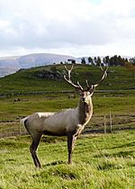 Bukhara Deer stag at Speyside Wildlife Park - geograph.org.uk - 1002574.jpg