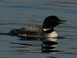 Common Loon RWD2