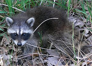Common Raccoon (Procyon lotor) in Northwest Indiana