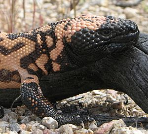 Gila Monster head
