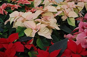Poinsettia varieties