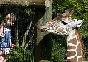 Reticulated Giraffe at the Fort Wayne Children's Zoo, Fort Wayne, IN