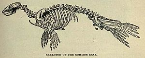 Commonsealskeleton