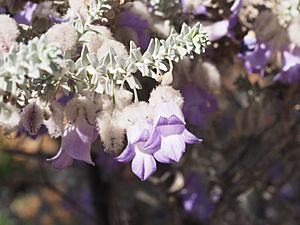 Eremophila lachnocalyx (leaves and flowers).jpg