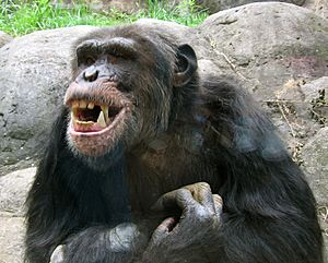Knoxville zoo - chimpanzee teeth