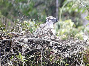 Philippine Eagle with nest