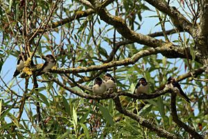 Barn swallow Facts for Kids