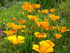 California Poppies American River