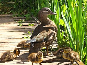 Aix galericulata -Richmond Park, London, England -mother and ducklings-8