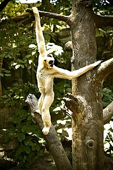 Brachiating Gibbon (Some rights reserved)