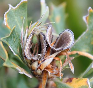Bug in Banksia sessilis follicle